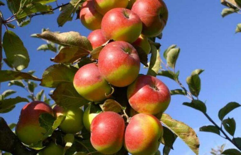 Le proprietà nutraceutiche della Mela Rosa dei Sibillini